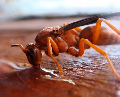 Texas Red Wasp